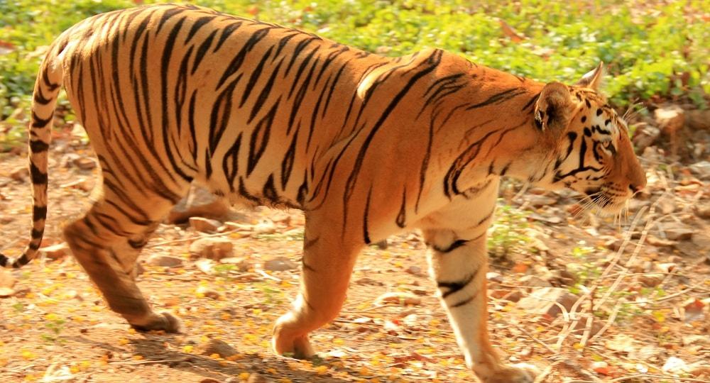 Tadoba Tiger Resort, India