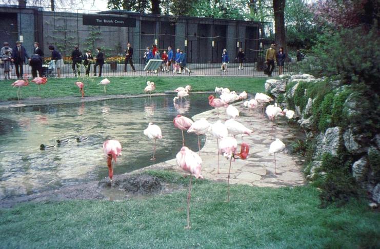 Flamingos at London Zoo Regents Park