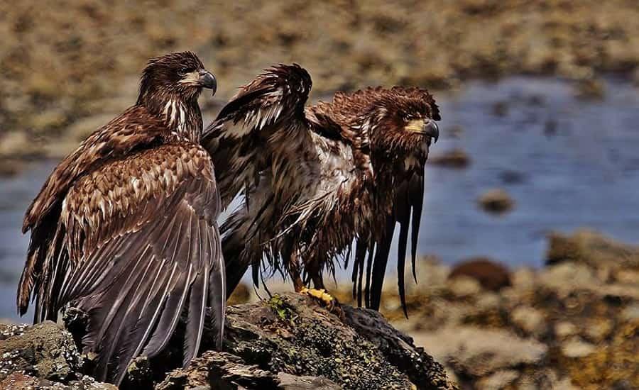 Bald Eagles, North Vancouver Island, BC