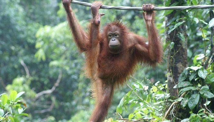 Orangutans at SORC