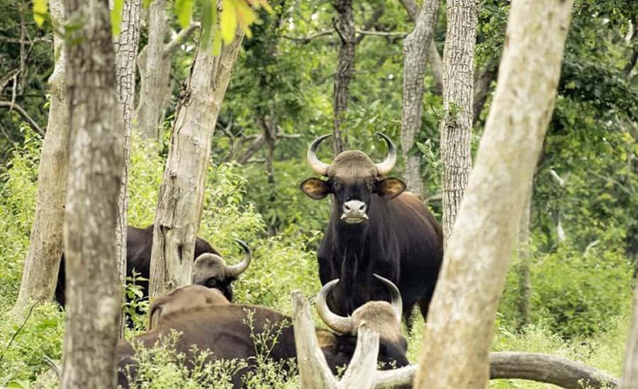 Indian Gaur at Mudumalai National Park