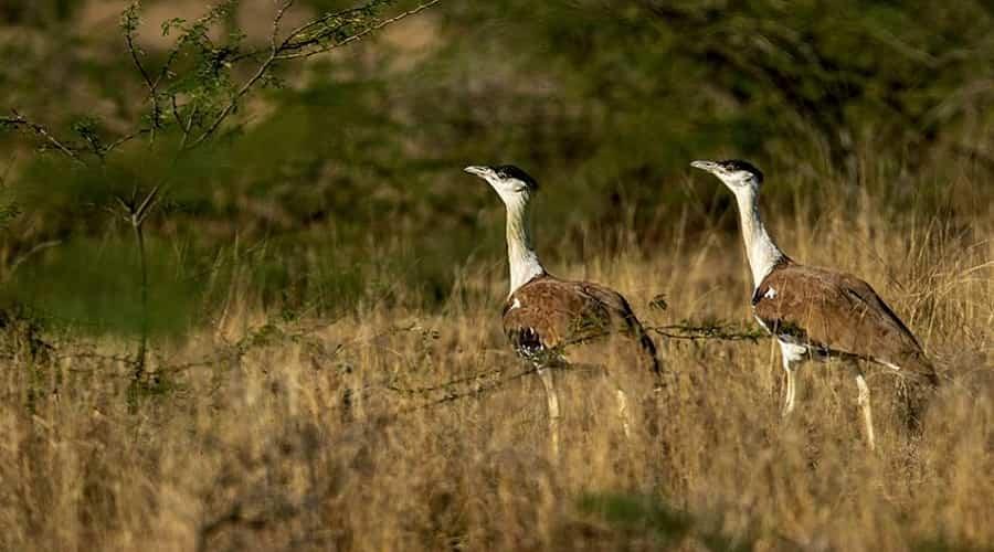 Kutch Great Indian Bustard Sanctuary, Gujarat