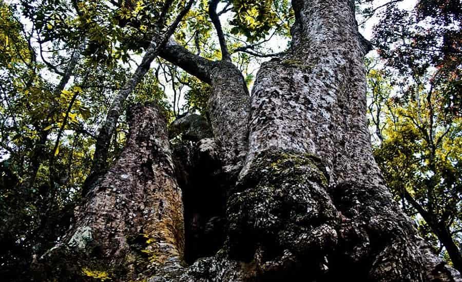 500 Years Old Tree, Kodaikanal
