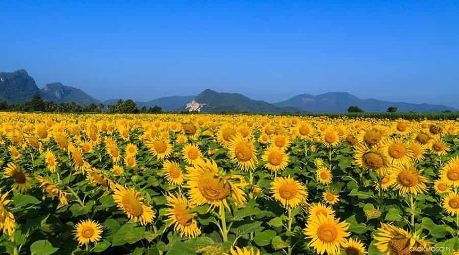 Sunflower Fields Thailand Lopburi Province